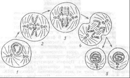 Рис. 1.5 Различные фазы митоза соматической клетки.