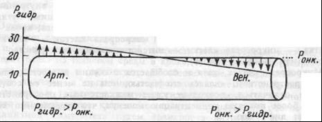 Рис.2.4. Роль гидростатического давления крови в транскапиллярном обмене воды. Арт. и Вен. — артериальный и венозный участки капилляра. Стрелки показывают направление и интенсивность движения воды.