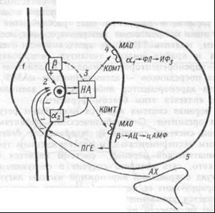 Симпатический синапс и его регуляция.