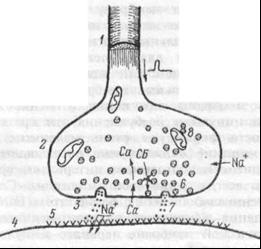 Структура    аксосоматического  синапса.