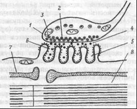 Структура нервно-мышечного синапса