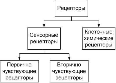классификация рецепторов в зависимости от их организации