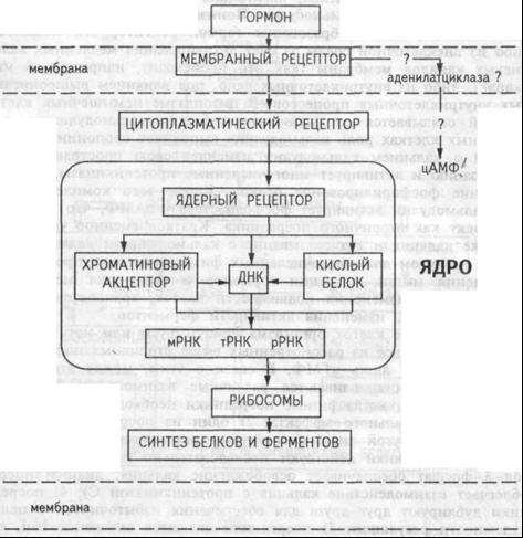 Схема механизма действия стероидных гормонов. Пояснения в тексте.
