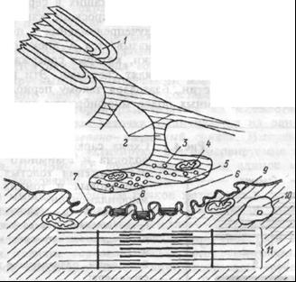 Схема элементов нервно-мышечного синапса.