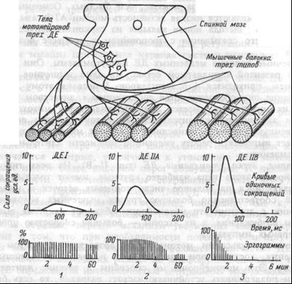 Двигательные единицы (ДЕ) мышцы и их типы.
