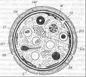 Ультраструктурная организация тромбоцита
