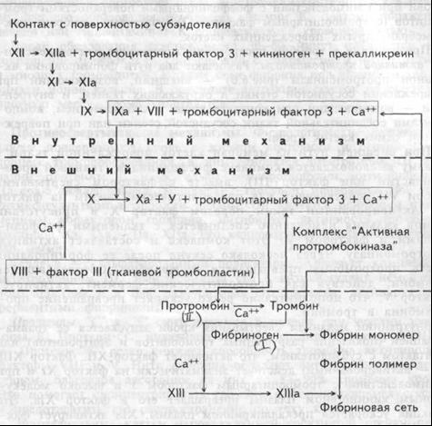 Рис.6.6. Схема последовательной активации факторов свертывания крови. а — активированный.