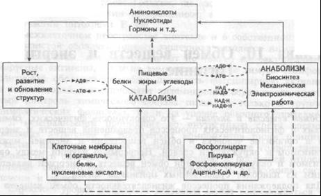 Рис.10.1. Схема основных  функциональных  блоков метаболизма  клетки  (пояснения  в тексте)