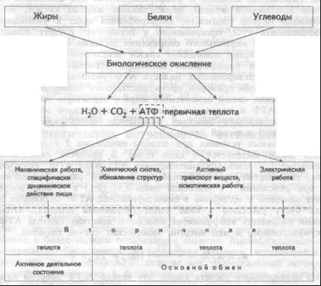 Схематическое представление взаимосвязи обмена веществ и энергии в организме