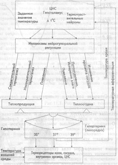 Схема механизмов регуляции теплообмена организма