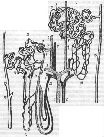 Морфологические особенности интракортикальных (I) и юкстамедуллярных (II) нефронов.