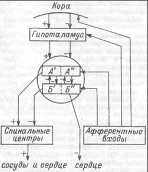 Рис.7.27. Схема организации центральных звеньев нервной регуляции сердечно-сосудистой системы.