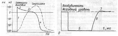 Рис.7.9. Сопоставление потенциала действия и сокращение миокарда с фазами изменения возбудимости при возбуждении. 1 — фаза деполяризации; 2 — фаза начальной быстрой реполяризации; 3 — фаза медленной реполяризации (фаза плато); 4 — фаха конечной быстрой репопяризации; 5 — фаза абсолютной рефрактерности; 6 — фаза относительной рефрактерности; 7 — фаза супернормальной возбудимости. Рефрактерность миокарда практически совпадает не только с возбуждением, но и с периодом сокращения.