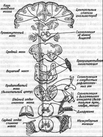 Схема  организации центрального  аппарата регуляции дыхания