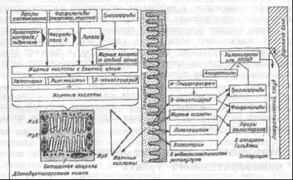 Схема расщепления и всасывания жиров в кишечнике.