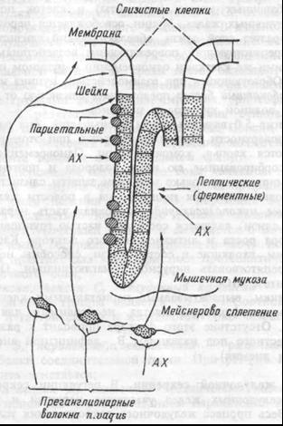 Нервная регуляция желудочных желез