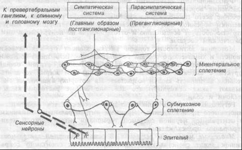Рис.9.6. Центральные и периферические механизмы нервной регуляции деятельности тонкой кишки.
