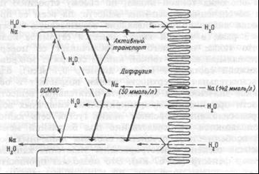 Схема активного и пассивного переноса воды