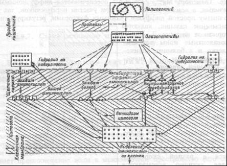 Схема расщепления и всасывания белков