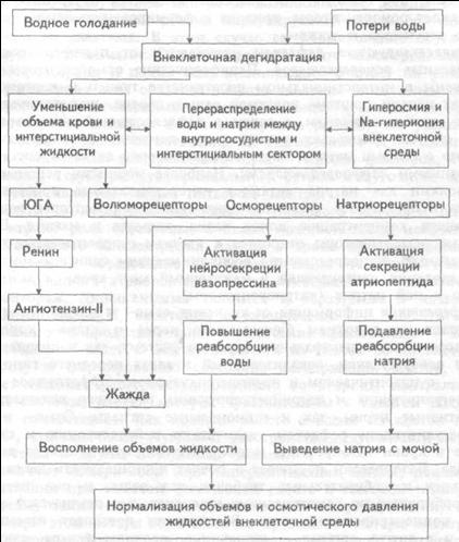 Гомеостатическая регуляция водно-солевого обмена