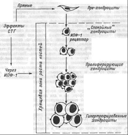 Прямой и опосредованный эффекты соматотропина