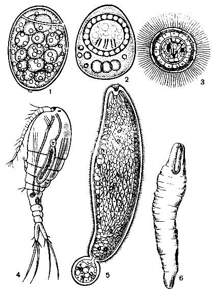 Яйца Цестод