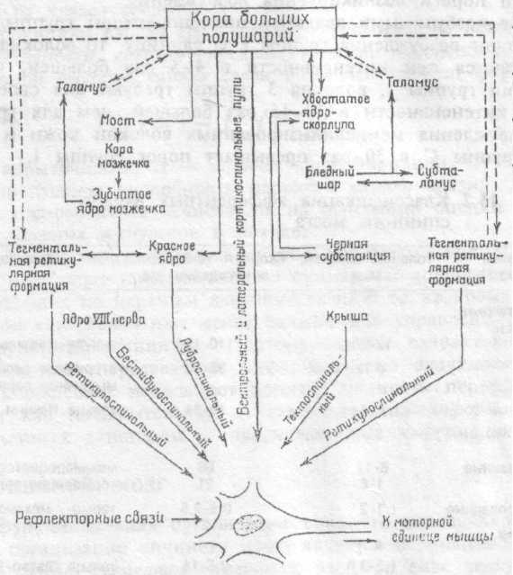 """Рис.15.4. Некоторые  нисходящие  системы,  воздействующие  на активность  """"общего  конечного  пути"""",  т.е.  на активность  мотонейрона.  Схема идентична для правого и левого полушарий мозга."""