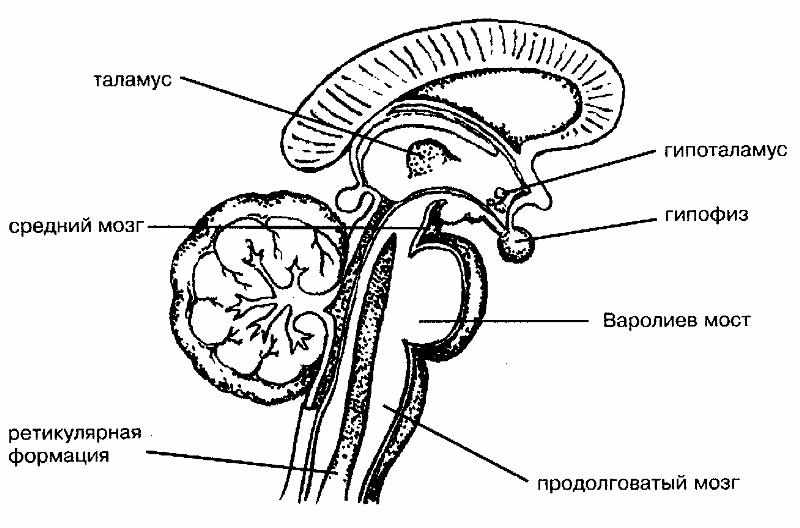 talamus gipotalamus hipofiz