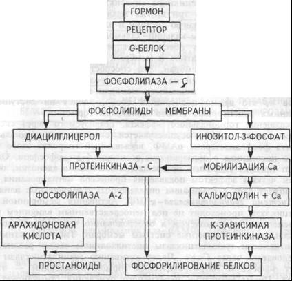 Механизм опосредования гормонального стимула системой фосфолипаза С — инозитол-3-фосфат. Пояснения в тексте.