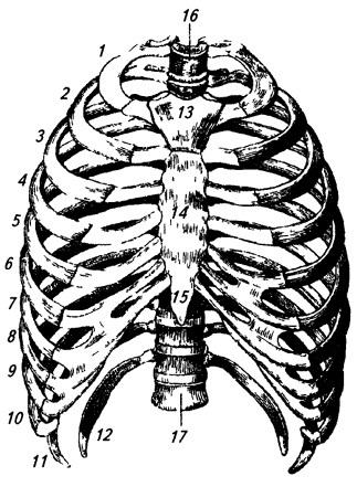 Грудная клетка спереди