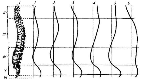 функциональные и возрастные изгибы Позвоночникa