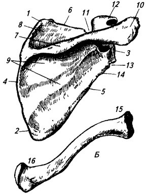 Кости плечевого пояса