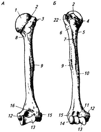 Правая плечевая кость