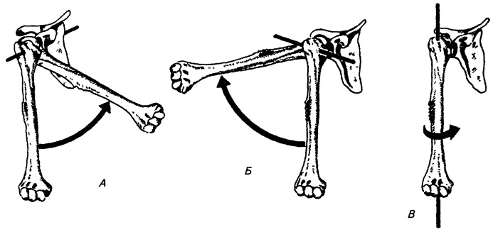 Возможные движения в плечевом суставе