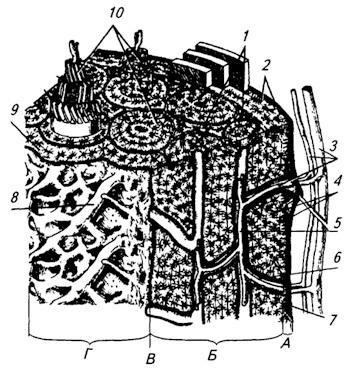 Схема строения трубчатой кости: