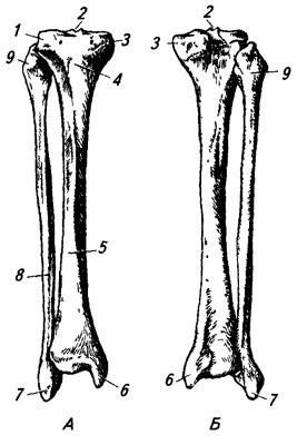 Кости правой голени