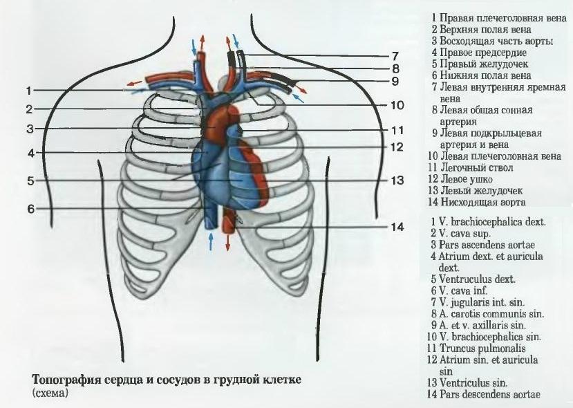 Топография сердца и сосудов в грудной клетке