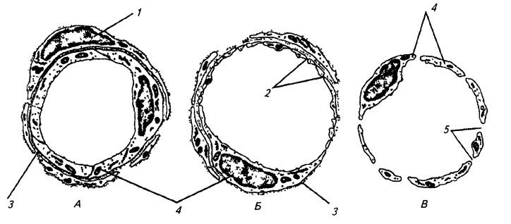 Строение и типы капилляров
