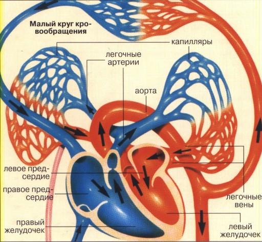 Артерии малого круга кровообращения