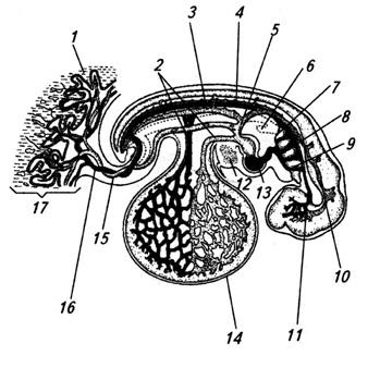 Система кровообращения 4-недельного зародыша человека