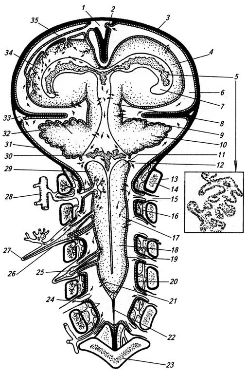 Схема образования цереброспинальной жидкости