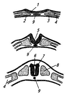 Последовательные стадии развития нервной трубки
