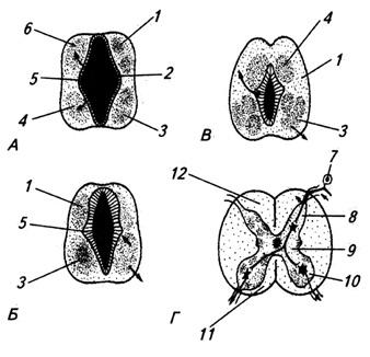 Последовательные стадии развития спинного мозга зародыша