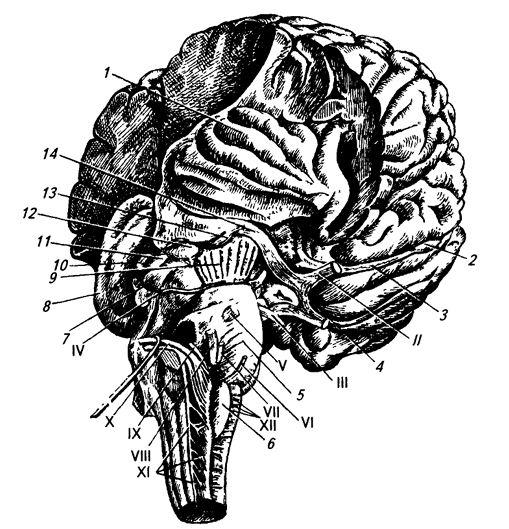 Рис. 3.17. Ствол мозга и часть больших полушарий сбоку и снизу