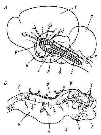 Рис. 3.19. Ретикулярная формация ствола мозга