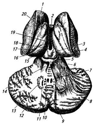 Рис. 3.22. Ствол мозга и подкорковые образования сверху (горизонтальным разрезом раскрыты ядра мозжечка)