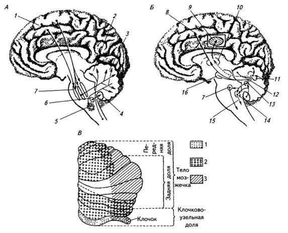 Рис. 3.23. Афферентные (А) и эфферентные (Б) системы мозжечка и проекции в кору мозжечка (В):