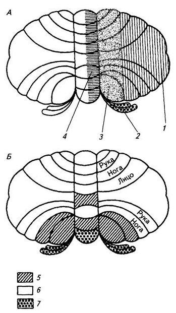 Рис 3. 26. Схема проекций коры мозжечка на ядра (А) и соматотопические проекции в коре мозжечка (Б)