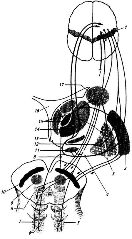 Афферентные и эфферентные связи базальных ганглиев