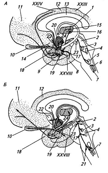 Структуры головного мозга, связанные с миндалиной